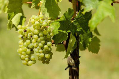 白ワイン用の白ブドウ