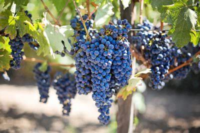 赤ワイン用の黒ブドウ