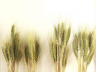 麦焼酎の原料の麦
