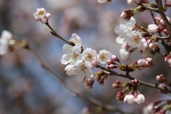 ロクでは桜の花も使用している。