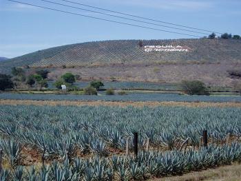 テキーラの原料・アガベの畑