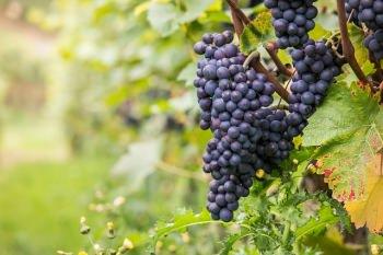 ワインの値段はブドウの質に左右される