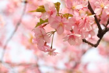 ROKUでは桜の花と葉が使用されている