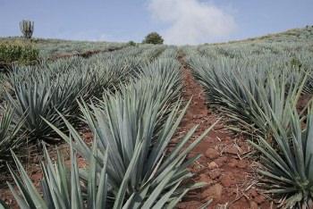 メキシコのアガベ・アスールの畑