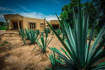 メキシコの風景(アガベ)
