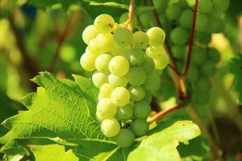 白ワイン用の白ぶどう