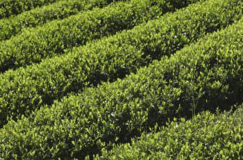 煎茶の栽培風景