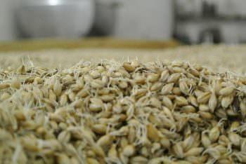 発芽した大麦