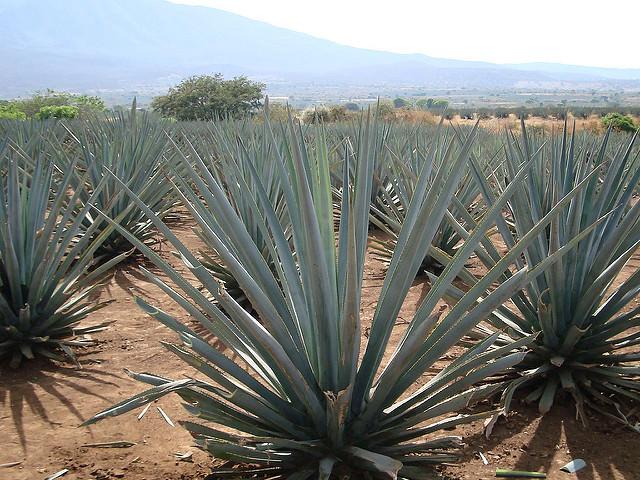 なぜテキーラは「サボテンのお酒」と誤解されるのか?