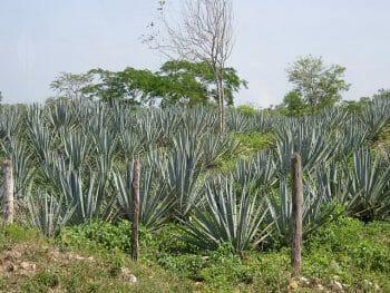 アガベ畑。テキーラと原料は同じだが、メスカルの方が使用できる品種が多い。