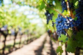ワインのブドウ畑