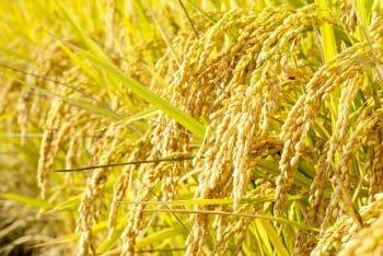 米が自然発酵して酒ができた