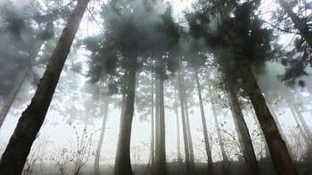 深い森と杉の木