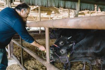 神戸牛と触れ合うアレキサンダーさん