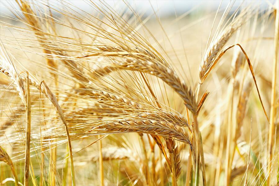 麦焼酎の原料となる大麦