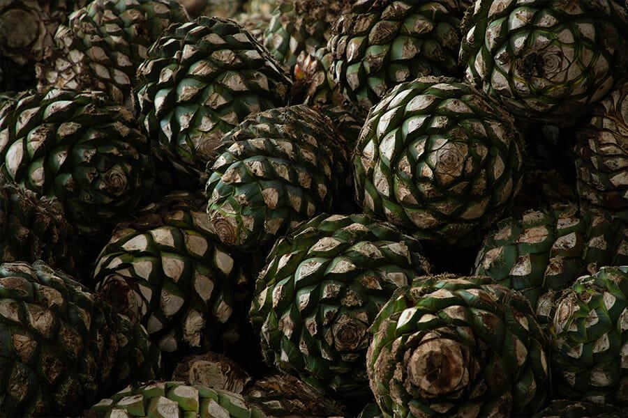 実際にはアガベの葉を切り落とした球茎部(ピニャ)が製造に用いられる