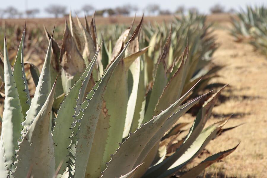 メスカルでは多種多様なアガベが使われる